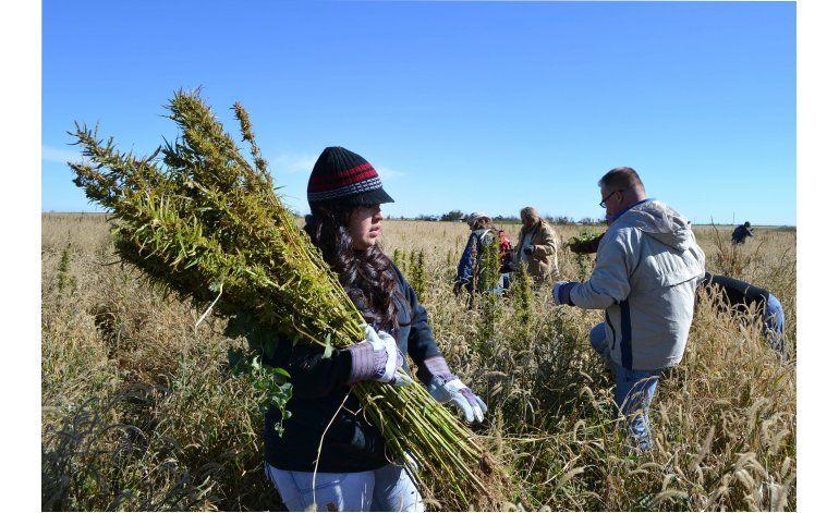 Colorado certifica primeras semillas de cáñamo