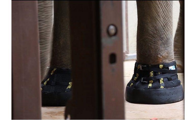Elefanta en EEUU recibe botas para lidiar con su artritis