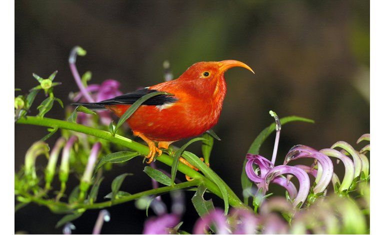 Culpan al cambio climático por el declive de aves en Hawaii
