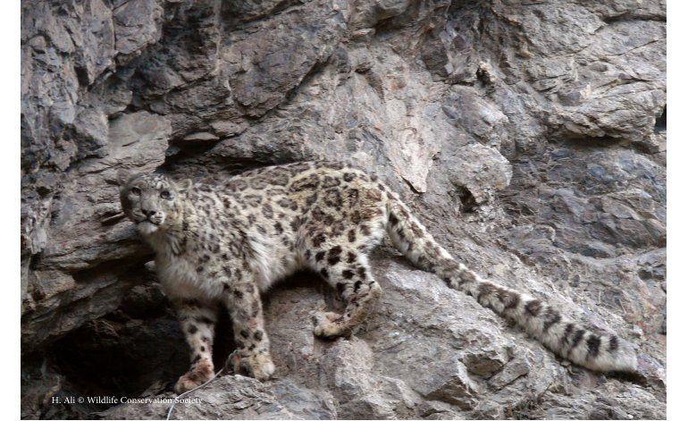 Los leopardos de las nieves llevan esperanza a región afgana