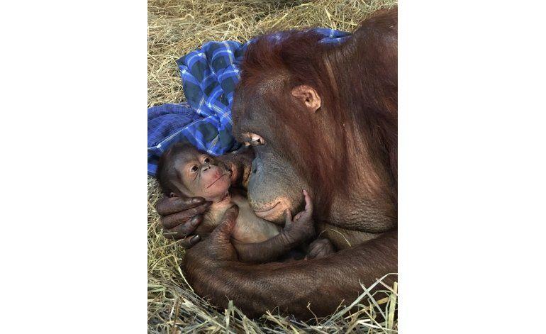 Nace orangután en zoo de EEUU, el primero en 25 años