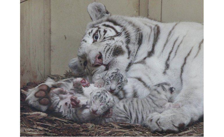 Nacen 4 leones blancos y 3 tigres blancos en zoo de Polonia