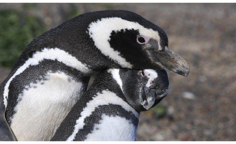 Inicia temporada de apareamiento de pingüinos en Argentina
