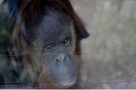 orangutana sandra espera su destino en buenos aires