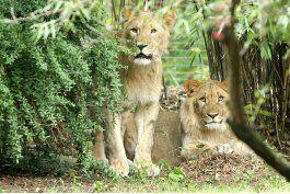 piden investigar sacrificio de leon en zoologico aleman