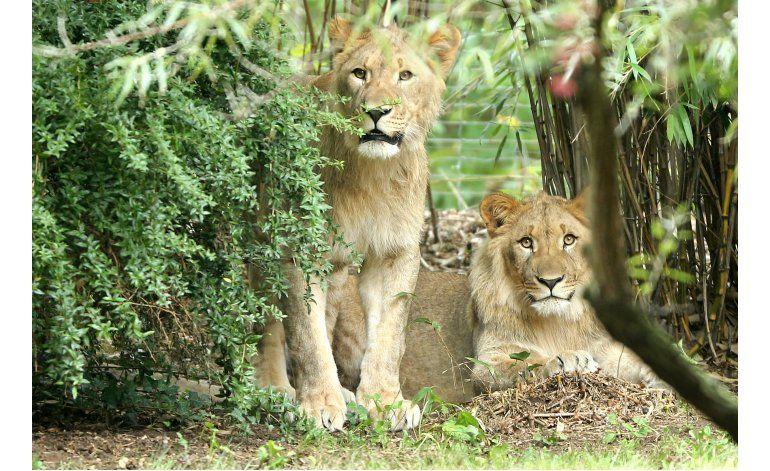 Piden investigar sacrificio de león en zoológico alemán