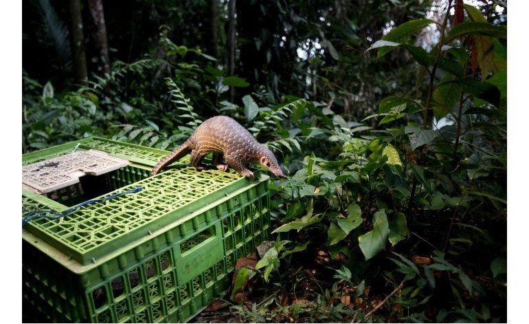 Veto sobre caza busca combatir el tráfico de pangolines