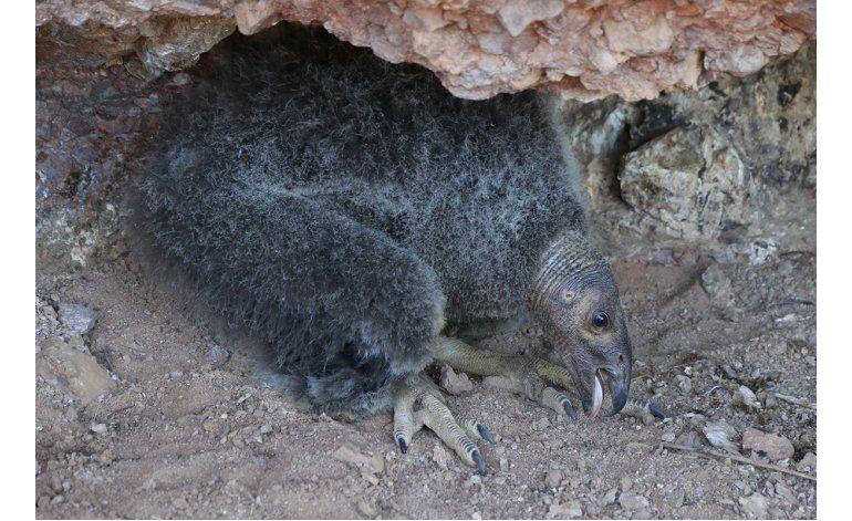 Cóndor de California nace en libertad, sobrevive y deja nido