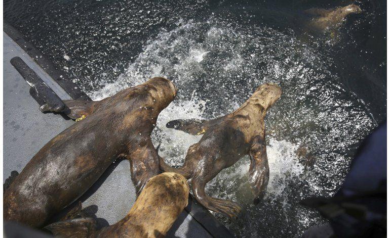 Devuelven al mar nueve leones marinos en Perú