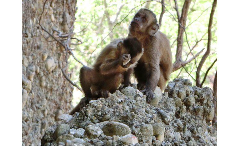 Monos rompen piedras, parecen crear herramientas afiladas