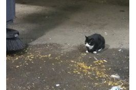 gatos cimarrones combaten ratas en nueva york