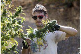 california: legalizacion de marihuana, dilema para granjeros
