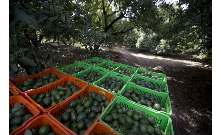 México: Deforestación por aguacates, mayor a la calculada