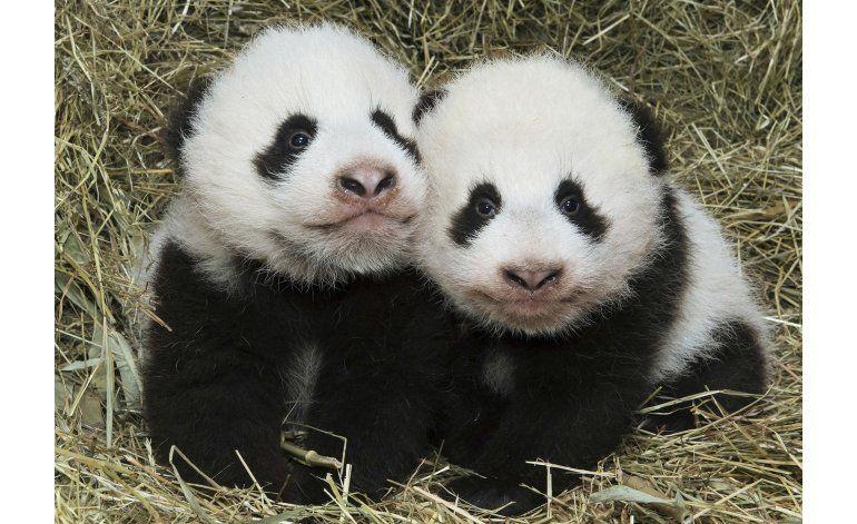 El Zoo de Viena anuncia nombres de sus cachorros panda