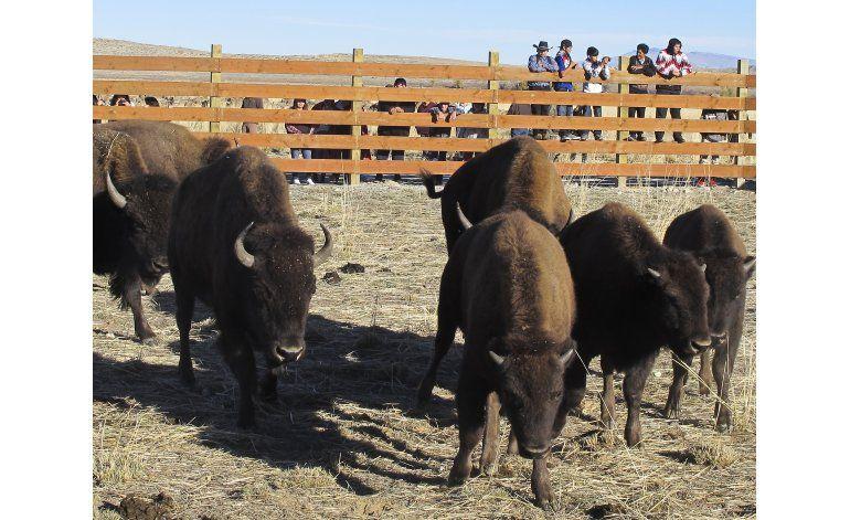 Búfalos pisan nuevamente tierra india en Wyoming