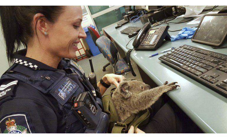 Australia: Una mujer cargaba un koala en una maleta