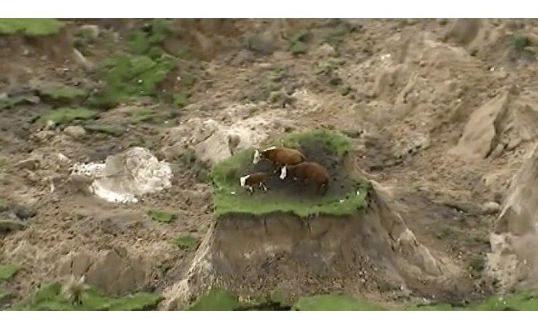 Sismo en Nueva Zelanda deja varadas a 3 vacas