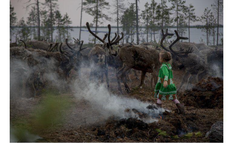 Aumento de sacrificio de renos despierta temores en Siberia
