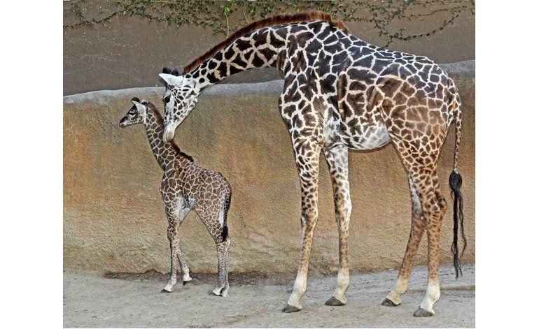 Bebé de 2 metros: Nace jirafa en zoo de Los Angeles