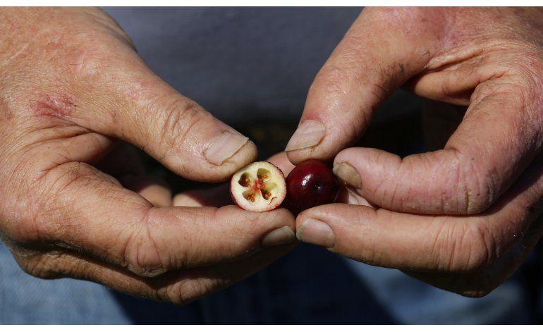 AP FOTOS: Arándanos van a las mesas por Acción de Gracias