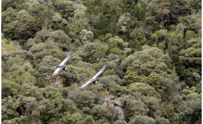 Liberan a tres cóndores juveniles en Ecuador