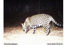 graban en video a jaguar silvestre en eeuu
