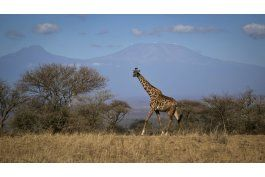la jirafa esta en lista de observacion de especies en riesgo