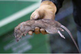 paris padece infestacion de ratas