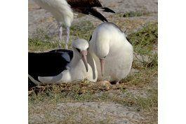 el ave marina mas vieja del mundo espera otro polluelo