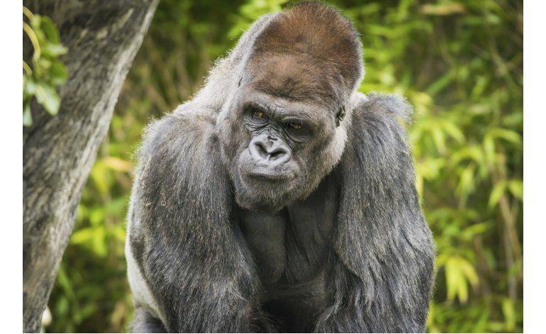Muere gorila de 32 años en zoológico de Cleveland