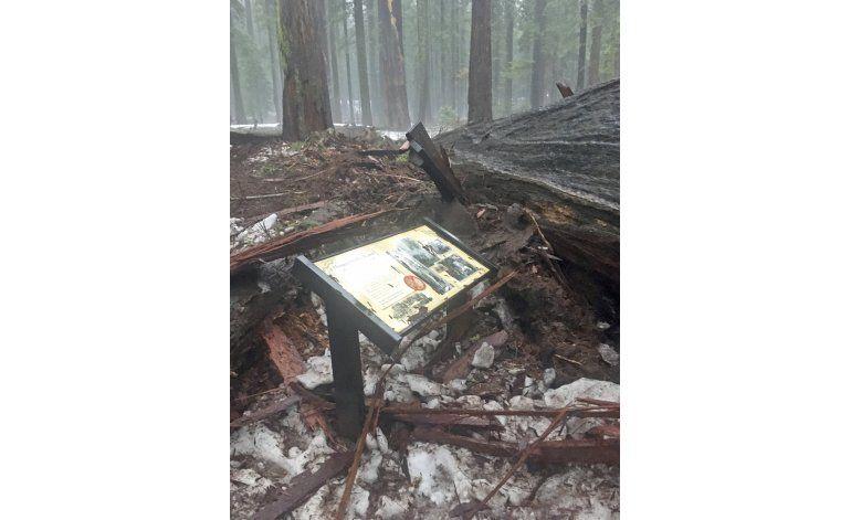 California: Se cae sequoia que tenía un túnel en su base