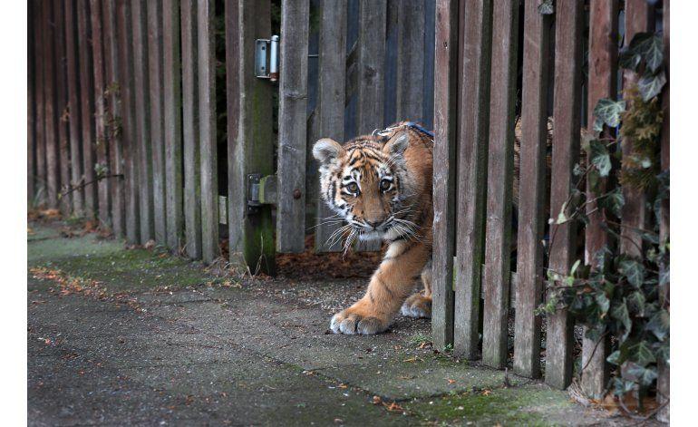 Una pareja cuida de una cría de tigre en su casa de Alemania