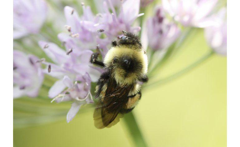 EEUU declara en peligro al abejorro Bombus affinis