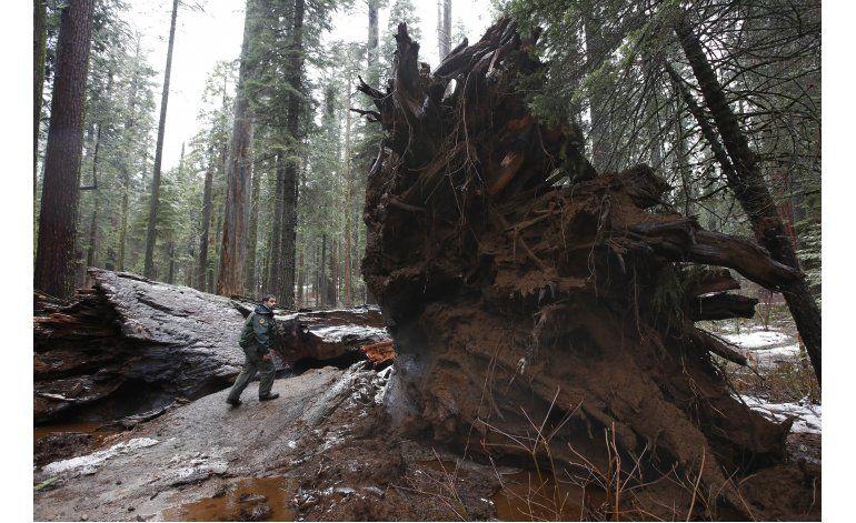 Racha de árboles caídos en California tras años de sequía