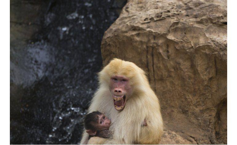 Escuchan voz de humano primitivo en gruñidos de babuino