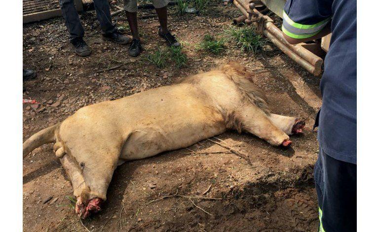 Hallan 3 leones, decapitados, mutilados en Sudáfrica