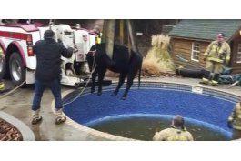 rescatan a vaca que quedo atrapada en piscina en oklahoma