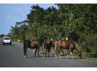 vieques confronta el dilema de los caballos sueltos