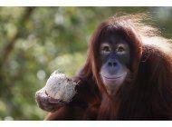 estudio: primates enfrentan crisis de extincion