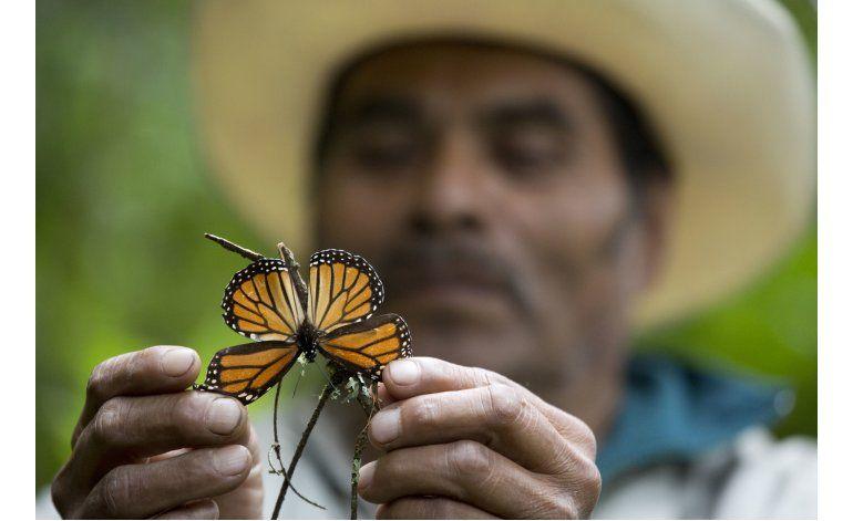 Cae 27% el número de mariposas monarca en México