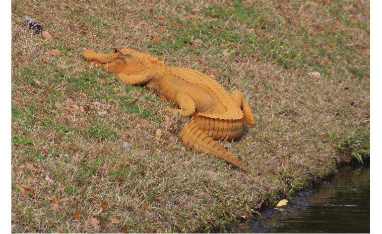 Un caimán anaranjado intriga a vecinos en Carolina del Sur