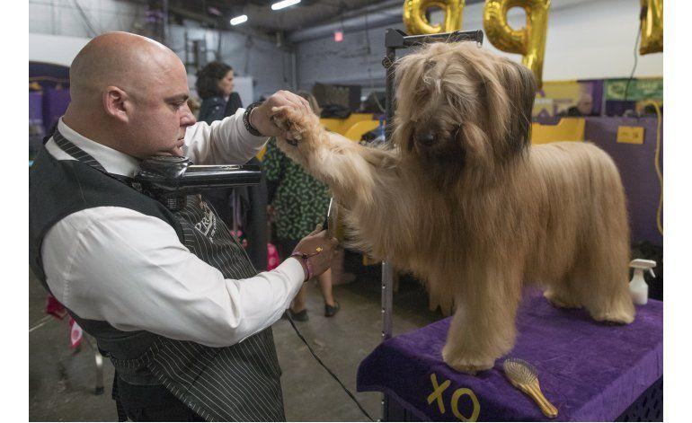 Una pastor alemán conquista al Westminster Kennel Club
