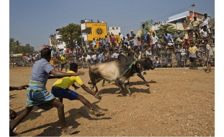 Vuelven las corridas de toros al sur de la India