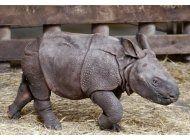 nace bebe rinoceronte en zoologico checo: es una nina