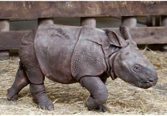 Nace bebé rinoceronte en zoológico checo: es una niña