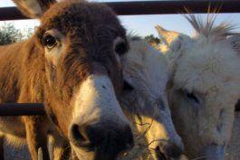 ejiao, la exotica gelatina medicinal china que pone en peligro a los burros como especie