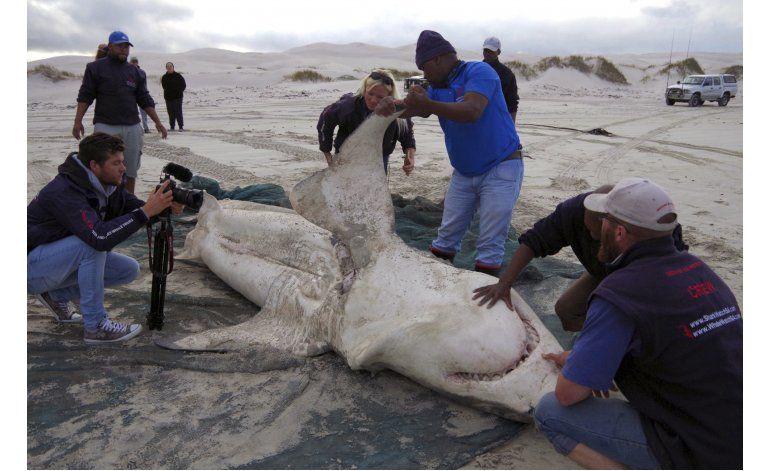Los temidos tiburones blancos no son rival para las orcas