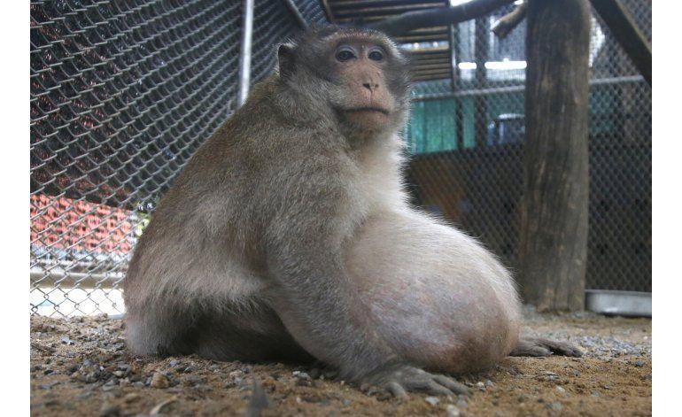 Ponen a dieta a mono que engordó comiendo comida chatarra