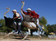 dos granjas en sudafrica dejan de ofrecer paseos en avestruz