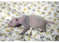 es una nina: la cria de panda nacida en japon pasa examenes